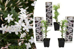 Lot de 3 plantes de jasmin blanc (25 - 40 cm)