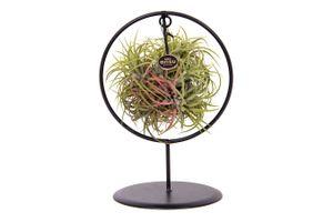 Tillandsia 'Magic Ball' in metalen sierring (30 - 35 cm)