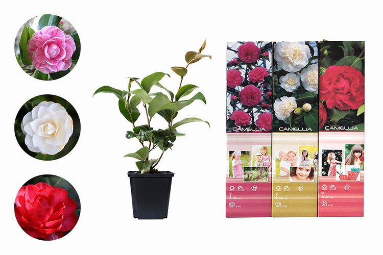 Set van 3 Camellia Japonica planten (20 - 35 cm)