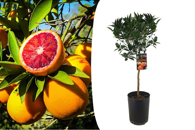Bloedsinaasappelboom (100 - 120 cm)