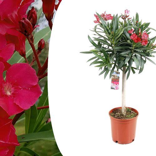 Nerium Oleander op stam
