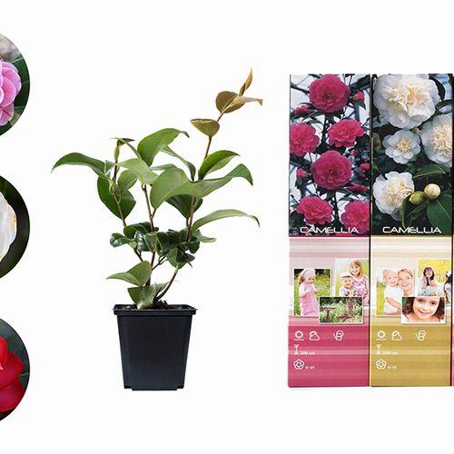 Set van 3 Camellia Japonica planten