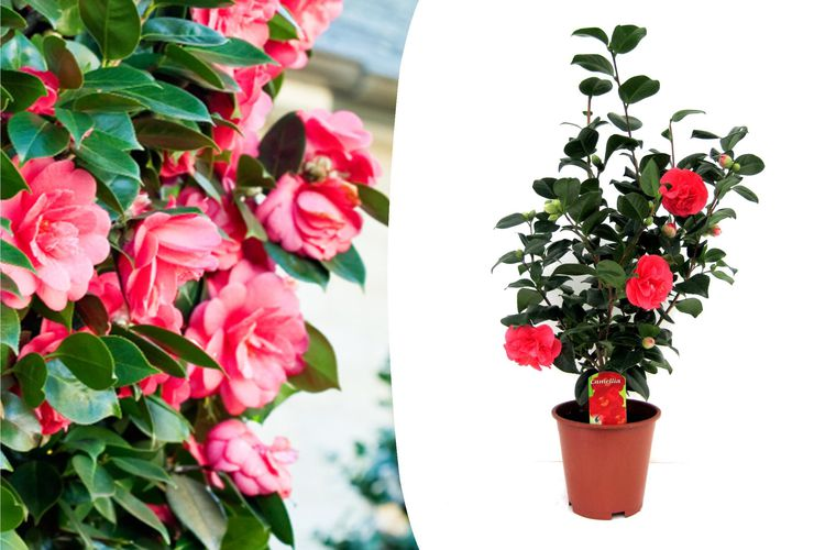 Korting Japanse roos met rode bloemen (60 65 cm)