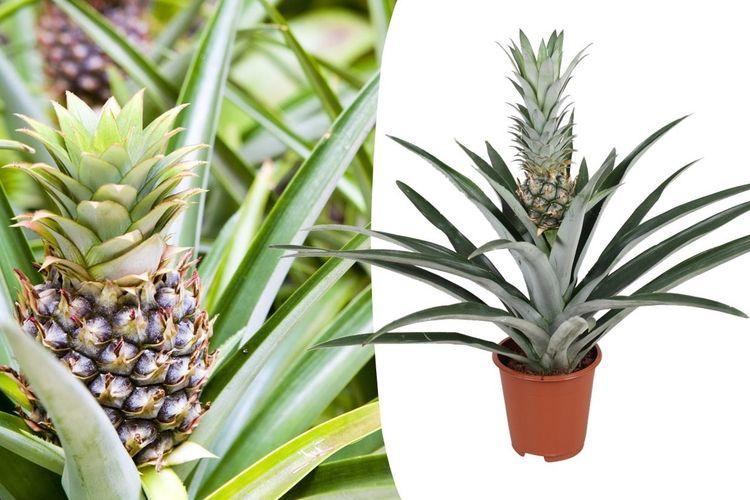 Tropische ananasplant 'anti-snurkplant' (45-55 cm)