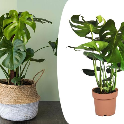 Philodendron Monstera 'Gatenplant' (60 - 70 cm)