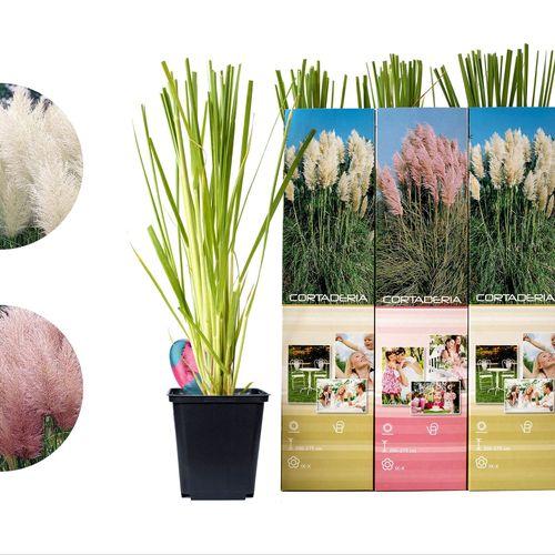 Set van 4 pampasgras-planten