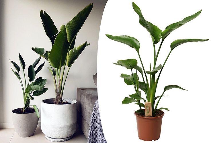 Strelitzia paradijsvogelplant (100 - 120 cm)