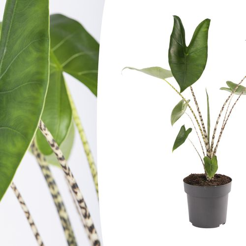 Zebraplant (55 - 65 cm)