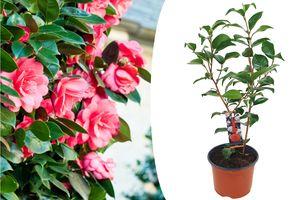 Camellia Japanse roos met rode bloemen (50 - 60 cm)