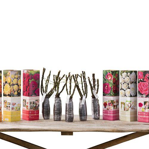 Set van 6 grootbloemige rozenstruiken (20 - 30 cm)