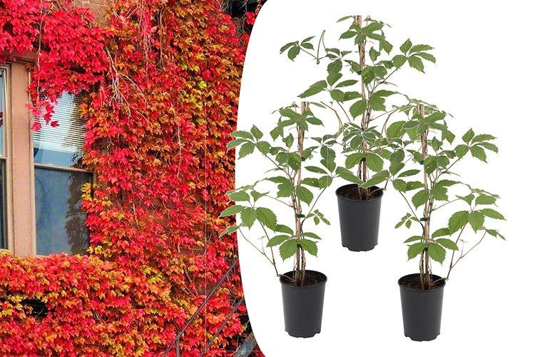 3 Parthenocissus klimplanten (25 - 40 cm)