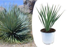 Yucca Rostrata palm-lelie (35 - 45 cm)