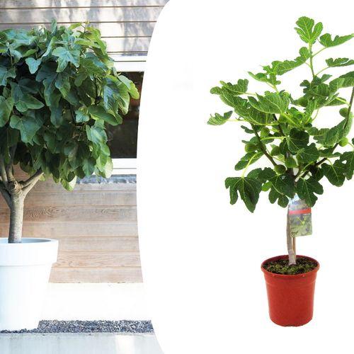 Ficus Carica Vijgenboom op stam (60 - 70 cm)
