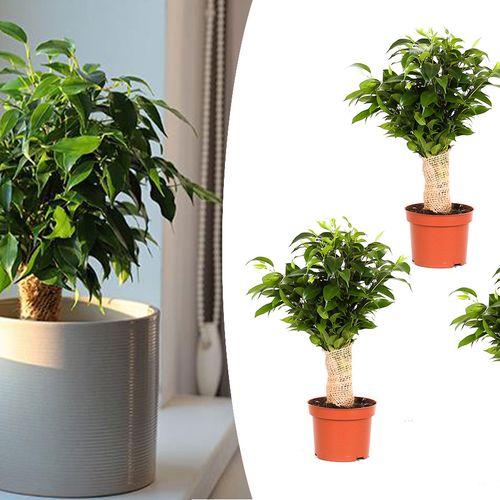 Set van 3 Ficus Jute Benjamina (25 - 35 cm)
