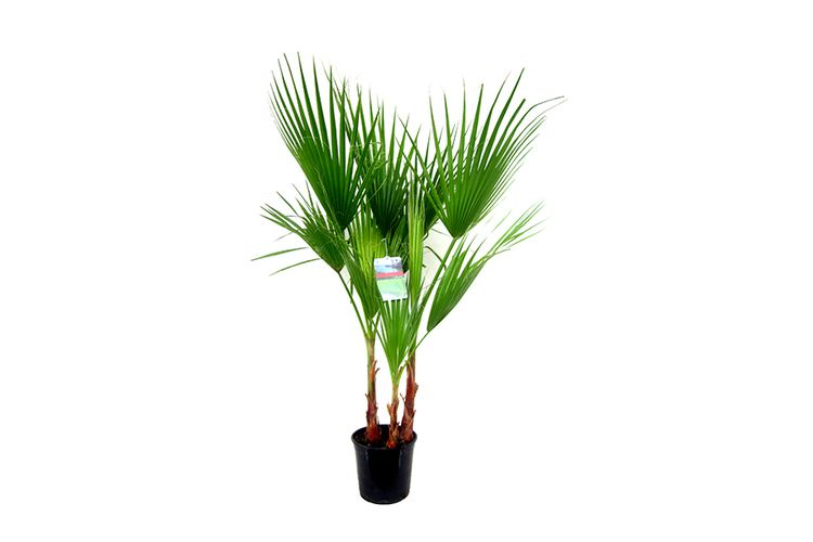 Grote Mexicaanse Waaierpalm (90 - 100 cm)