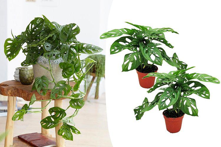 Set van 2 Monstera Monkey Mask gatenplanten (20 - 30 cm)