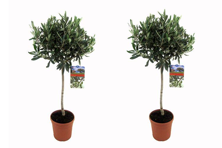 2 groenblijvende olijfbomen op stam (90 - 100 cm)