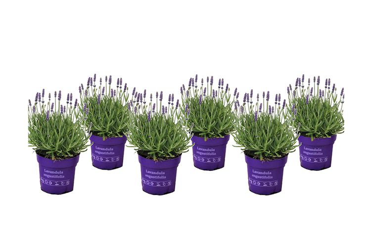 Set van 6 lavendelplanten (15 - 20 cm)
