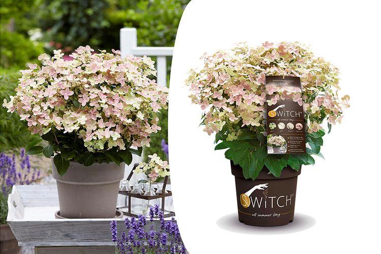 Hortensia Switch Ophelia (30 - 40 cm)