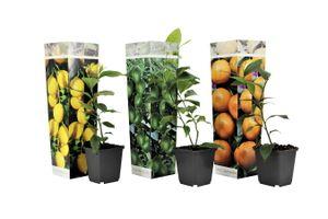 Set van 3 Citrusplanten (20 - 30 cm)