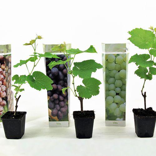 Set van 3 druivenplanten (20 - 40 cm)