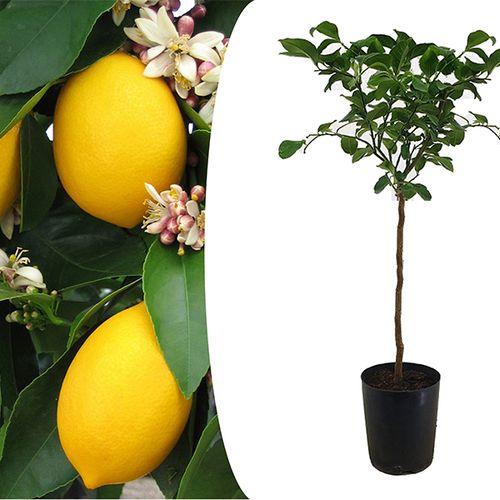XL citroenboom op stam (90 - 110 cm)
