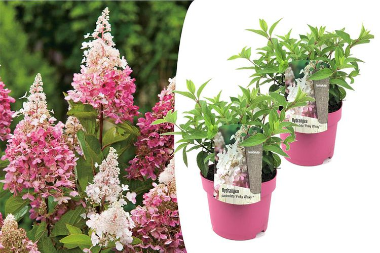 Set van 2 Roze Pluimhortensia's (30 - 40 cm)
