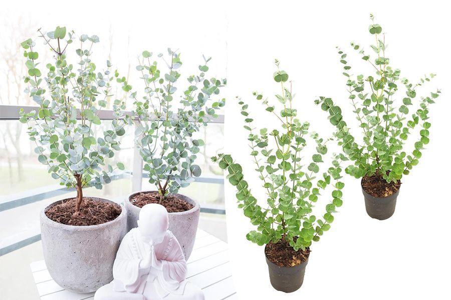 Korting Set van 2 Eucalyptus Gunni 'Azura' struiken (30 40 cm)