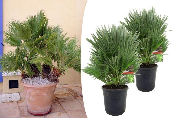2 Chamaerops Vulcano palmen (35 - 45 cm)