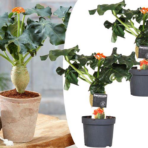Set van 2 Jatropha Flessenplanten