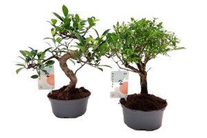 Set van 2 Chinese Bonsaiboompjes (20 - 30 cm)