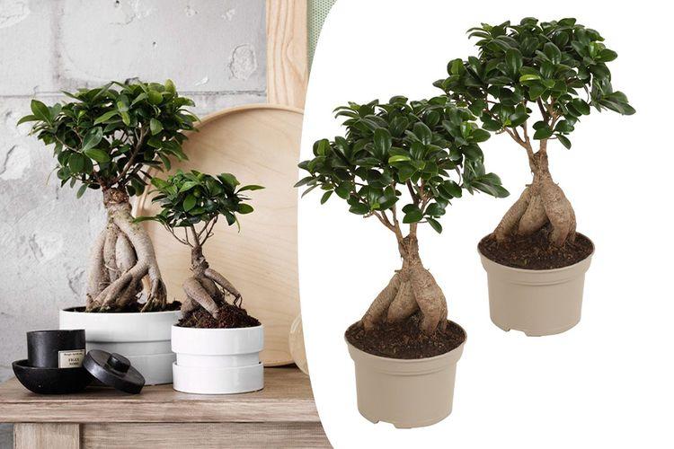 SlaJeSlag 2 Japanse Bonsai's Ficus Ginseng (35 - 40 cm)