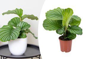 Calathea Orbifolia-kamerplant (40 - 50 cm)