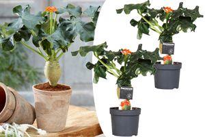 Set van 2 Jatropha Flessenplanten (25 - 35 cm)