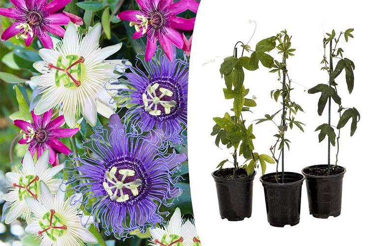 Set van 3 gemengde Passiflora-planten (25 - 45 cm)