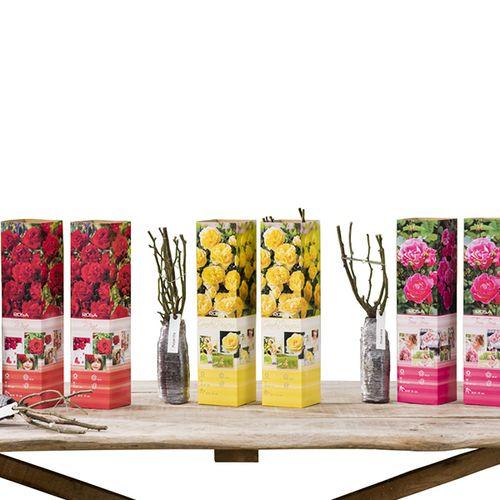 Set van 6 kleinbloemige rozenstruiken (25 - 35 cm)