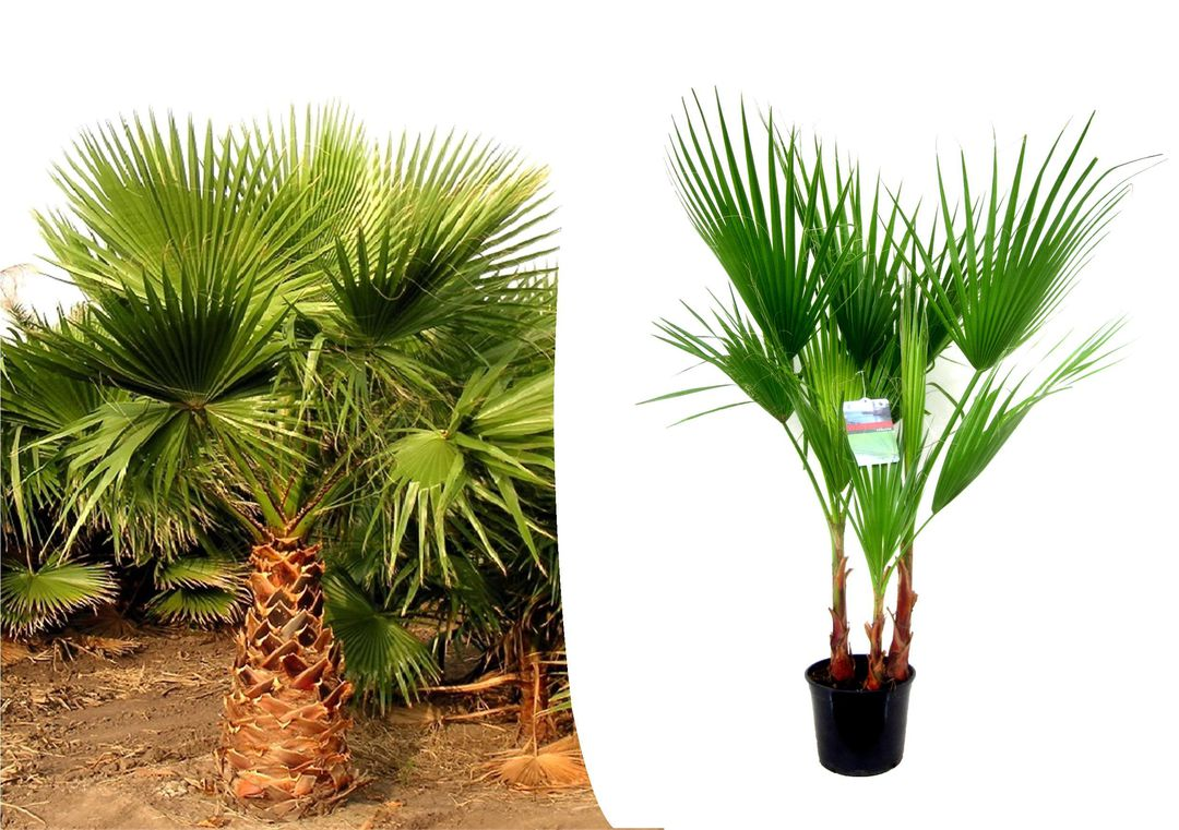 Grote Mexicaanse Waaierpalm (70 - 90 cm)
