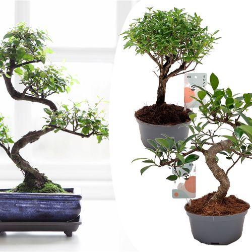 Set van 2 Chinese Bonsaiboompjes