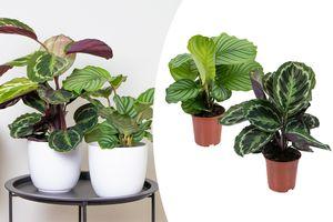 Mix van 2 Calathea-planten (40 - 50 cm)
