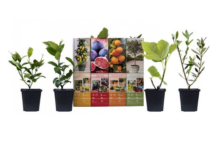 Set van 4 mediterrane planten (25 - 40 cm)
