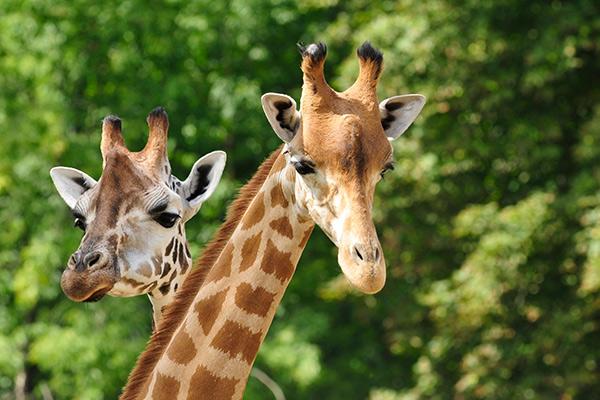 Giraffen in dierentuin ARTIS