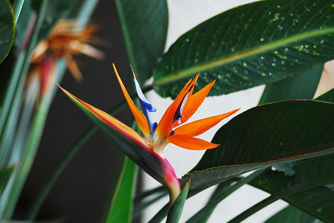 Unieke kamerplant kopen: de paradijsvogelplant