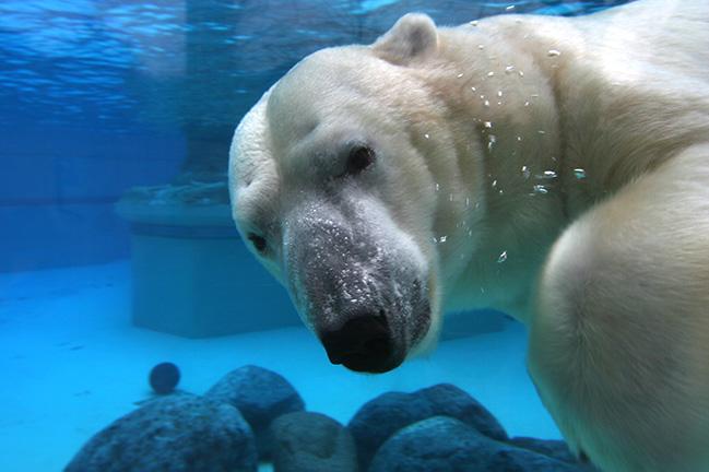 De ijsbeer: een van de vele dieren in Wildlands Adventure Zoo