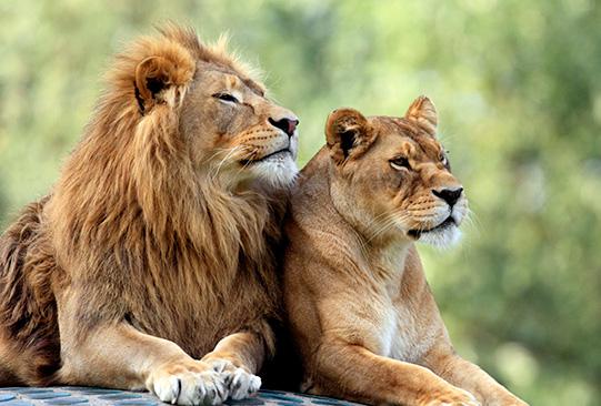 diergaarde-blijdorp-vakantieveilingen-leeuwen