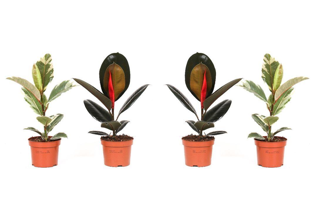 Mix van 4 Ficus Elastica van OH2 (30 - 40 cm)