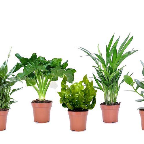 Set van 5 luchtzuiverende plantjes