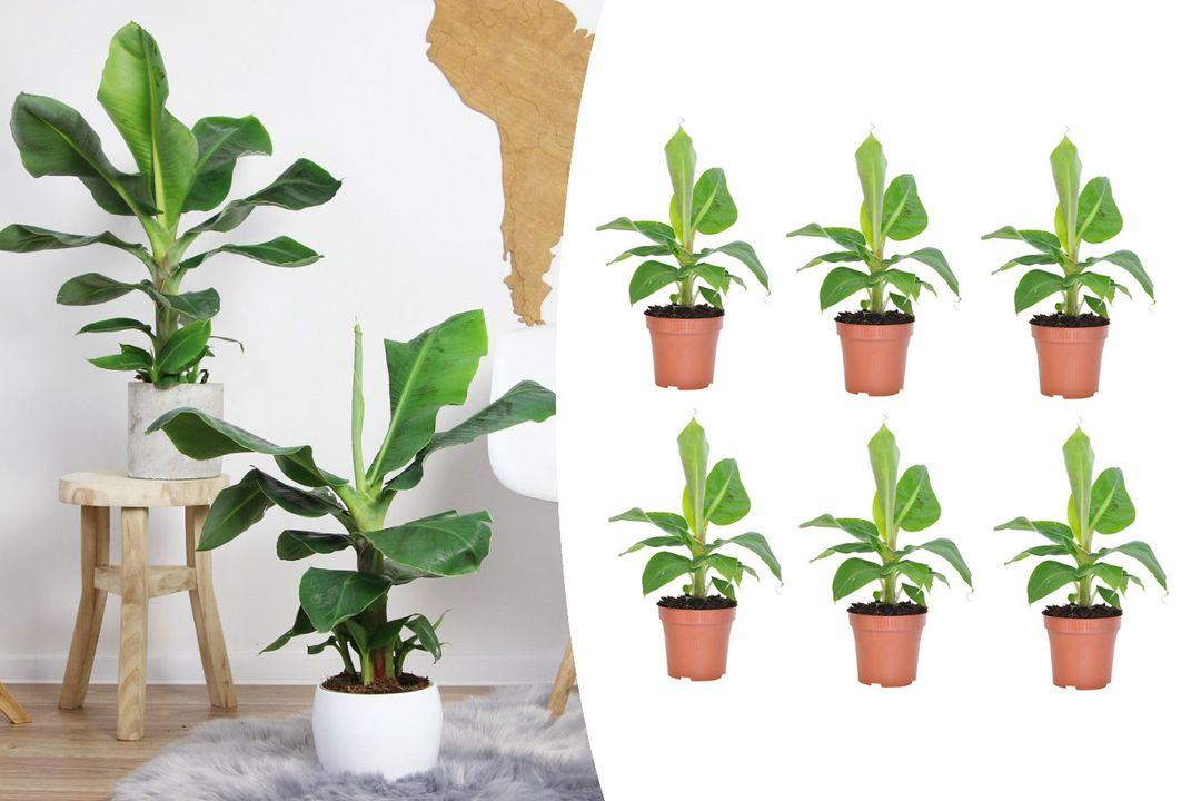 Set van 6 tropische bananenplanten (25 - 40 cm)