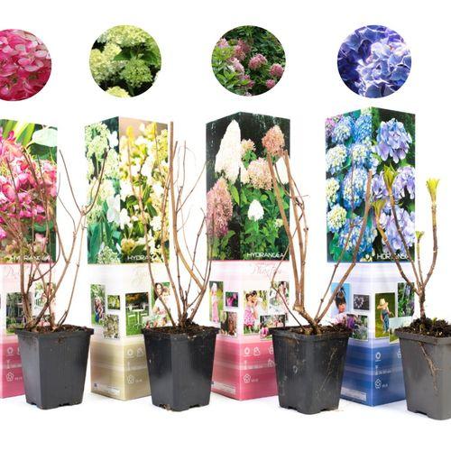 Set van 4 Hydrangea Hortensia's